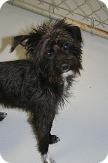 Terrier (Unknown Type, Small) Mix Puppy for adoption in Muskegon, Michigan - Mason