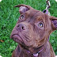 Adopt A Pet :: Boxy - Reisterstown, MD