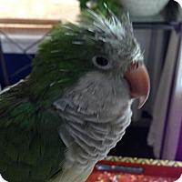 Adopt A Pet :: Mango - St. Louis, MO