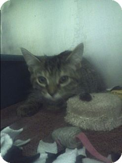 Domestic Shorthair Kitten for adoption in Muskegon, Michigan - farrah