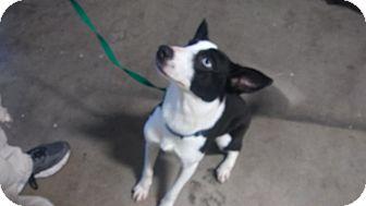 Border Collie Puppy for adoption in Salem, Oregon - Lana