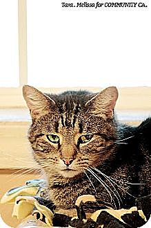 Domestic Shorthair Cat for adoption in Whitewater, Wisconsin - Pedro