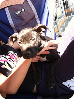 Labrador Retriever/Terrier (Unknown Type, Medium) Mix Puppy for adoption in North Hollywood, California - Marie