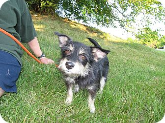 Australian Terrier Mix Dog for adoption in Norwalk, Connecticut - Bristol - adoption pending