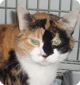 Domestic Shorthair Cat for adoption in Germansville, Pennsylvania - Ginny