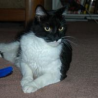 Adopt A Pet :: Sylvester - San Jose, CA