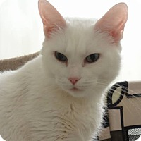 Adopt A Pet :: Snow White - Colmar, PA