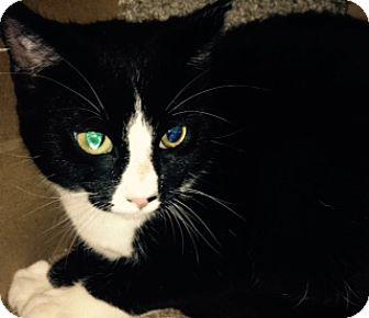American Shorthair Kitten for adoption in Baltimore, Maryland - Domino