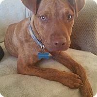 Adopt A Pet :: Major - Los Banos, CA