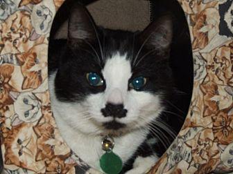 Domestic Shorthair Cat for adoption in Burbank, California - Maynard G. Krebbs