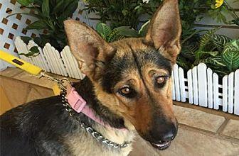 German Shepherd Dog Dog for adoption in Newport Beach, California - Rose