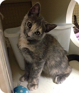 Domestic Shorthair Kitten for adoption in Hendersonville, North Carolina - Neon