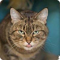 Adopt A Pet :: Cinderella - Addison, IL