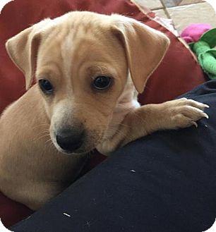 Chihuahua Mix Puppy for adoption in Alpharetta, Georgia - SkeetersRun