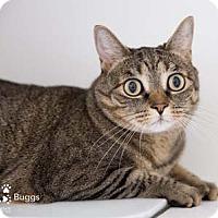 Adopt A Pet :: Buggs - Merrifield, VA