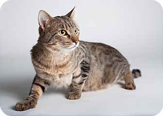 Domestic Shorthair Cat for adoption in Rockaway, New Jersey - Rocky Road