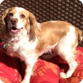 Cocker Spaniel Mix Dog for adoption in Sacramento, California - Ellie