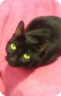 Domestic Shorthair Cat for adoption in Ridgewood, New York - SHADOW