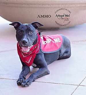 Labrador Retriever/Cattle Dog Mix Dog for adoption in Gilbert, Arizona - AMMO