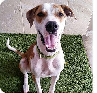 Hound (Unknown Type) Mix Dog for adoption in Honolulu, Hawaii - Joker