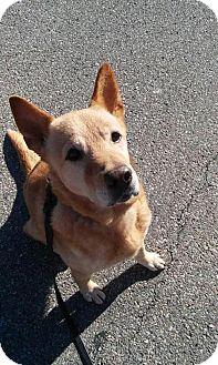 Labrador Retriever/Shepherd (Unknown Type) Mix Dog for adoption in New York, New York - Pound Cake
