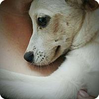 Adopt A Pet :: Lab Mix Puppies! - West Warwick, RI