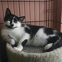 American Shorthair Cat for adoption in Lyons, Illinois - Blacking