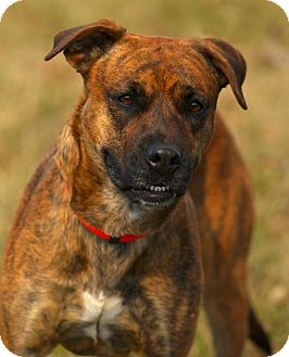 Boxer/Labrador Retriever Mix Dog for adoption in Lafayette, Indiana - Sage