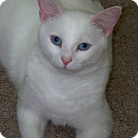 Domestic Shorthair Cat for adoption in Duluth, Georgia - Percy
