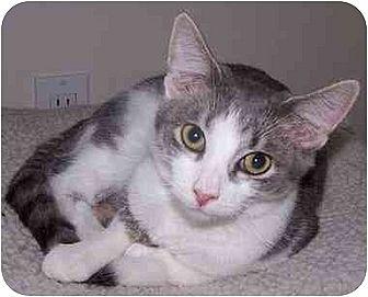 Domestic Shorthair Cat for adoption in Sheboygan, Wisconsin - Malcolm