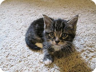 American Shorthair Kitten for adoption in Richland, Michigan - Tiny Toes