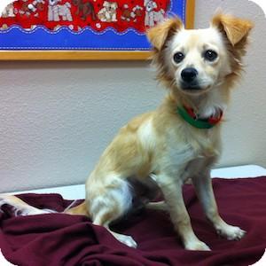 Chihuahua Mix Dog for adoption in Gilbert, Arizona - Reeses