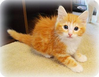 Domestic Longhair Kitten for adoption in Arlington/Ft Worth, Texas - Ralph