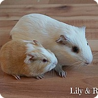 Adopt A Pet :: Lily & Rose - Brooklyn Park, MN