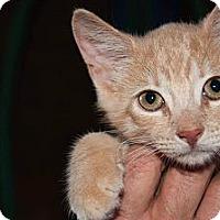 Adopt A Pet :: Tiger - New Egypt, NJ