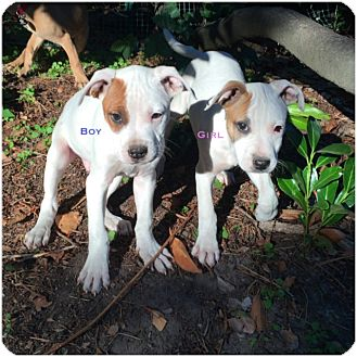 American Staffordshire Terrier Mix Puppy for adoption in Covington, Washington - Molly