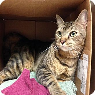 Domestic Mediumhair Cat for adoption in Balto, Maryland - Driver