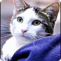 Domestic Shorthair Cat for adoption in Ottumwa, Iowa - Mopsy