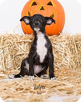 Redtick Coonhound/Pug Mix Dog for adoption in Riverside, California - Volpix