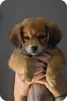 Spaniel (Unknown Type)/Dachshund Mix Puppy for adoption in Jewett City, Connecticut - Lady - ADOPTED