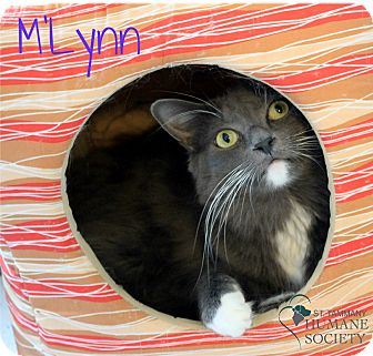 Domestic Shorthair Cat for adoption in Covington, Louisiana - M'Lynn