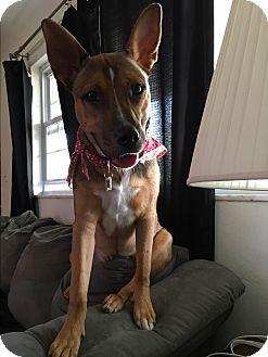 American Bulldog/Great Dane Mix Dog for adoption in O Fallon, Illinois - Duke