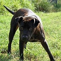 Labrador Retriever Mix Dog for adoption in Olympia, Washington - Ranger W