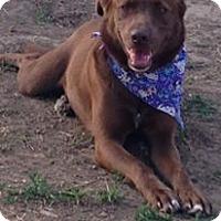 Labrador Retriever/Cattle Dog Mix Dog for adoption in WAGONER, Oklahoma - Mocha