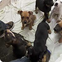 Adopt A Pet :: khaleesi - Hardeeville, SC