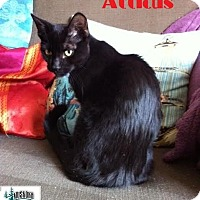 Adopt A Pet :: Atticus - Lap kitty! - Huntsville, ON