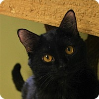 Domestic Shorthair Cat for adoption in Hastings, Nebraska - Cole