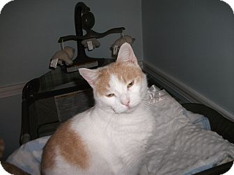 Domestic Shorthair Cat for adoption in Jenkintown, Pennsylvania - Nemo