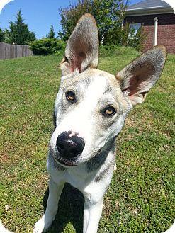 Husky/Shepherd (Unknown Type) Mix Dog for adoption in Marietta, Georgia - Wile E