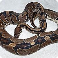 Adopt A Pet :: Maya - Richmond, BC